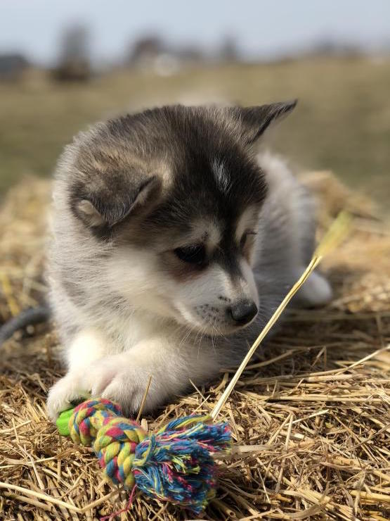 BECKETT – POMSKY PUPPY FOR SALE IN LAGRANGE, IN