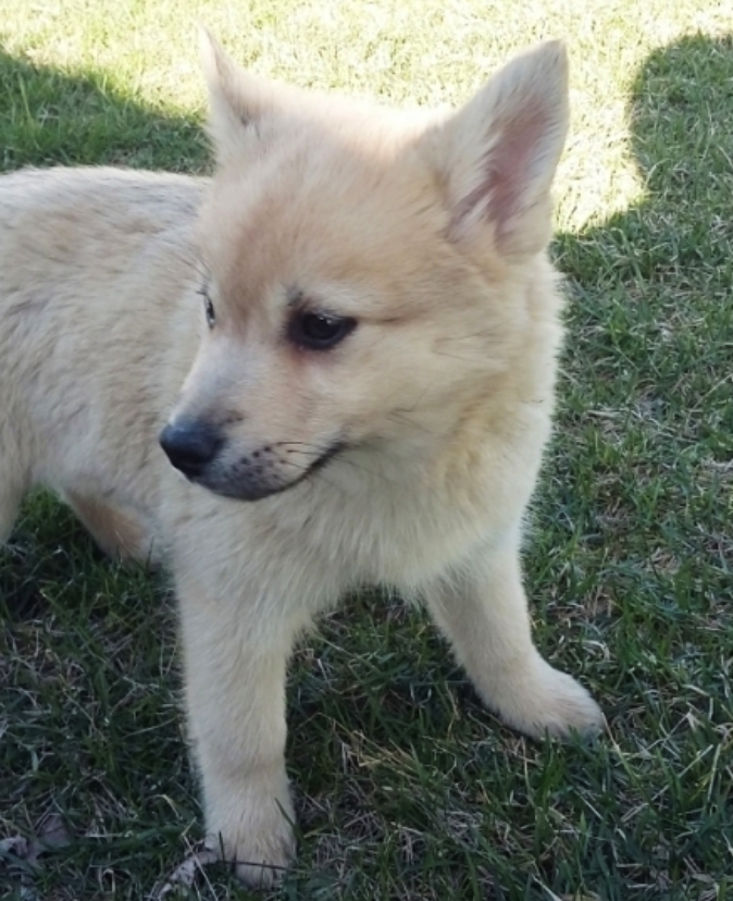 Bailey – POMSKY PUPPY FOR SALE IN ARTHUR, IL