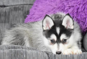 LEIA – POMSKY PUPPY FOR SALE IN WALHONDING, OH