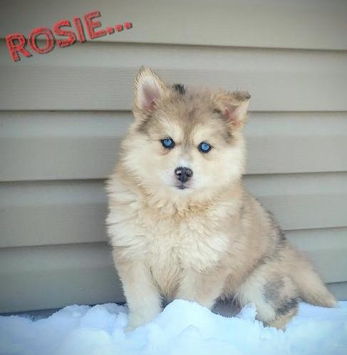 ROSIE – POMSKY PUPPY FOR SALE IN HONEYBROOK, PA