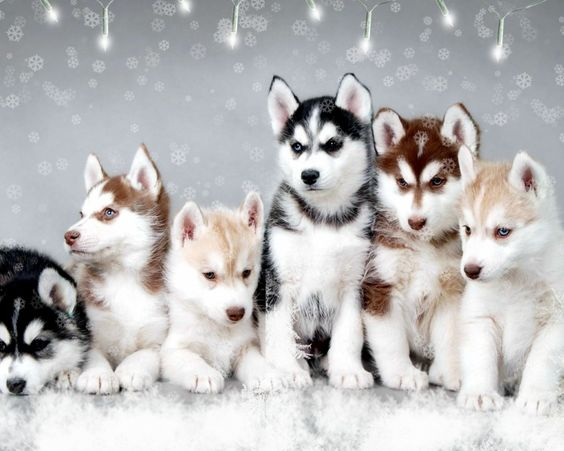5 Different Types of Pomsky
