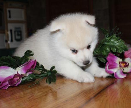 BLAZE – POMSKY PUPPY FOR SALE IN ARTHUR, IL