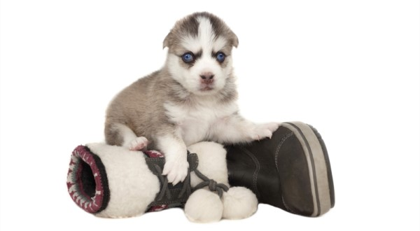 Buying vs. Adopting A Pomsky : What Should I Go for?