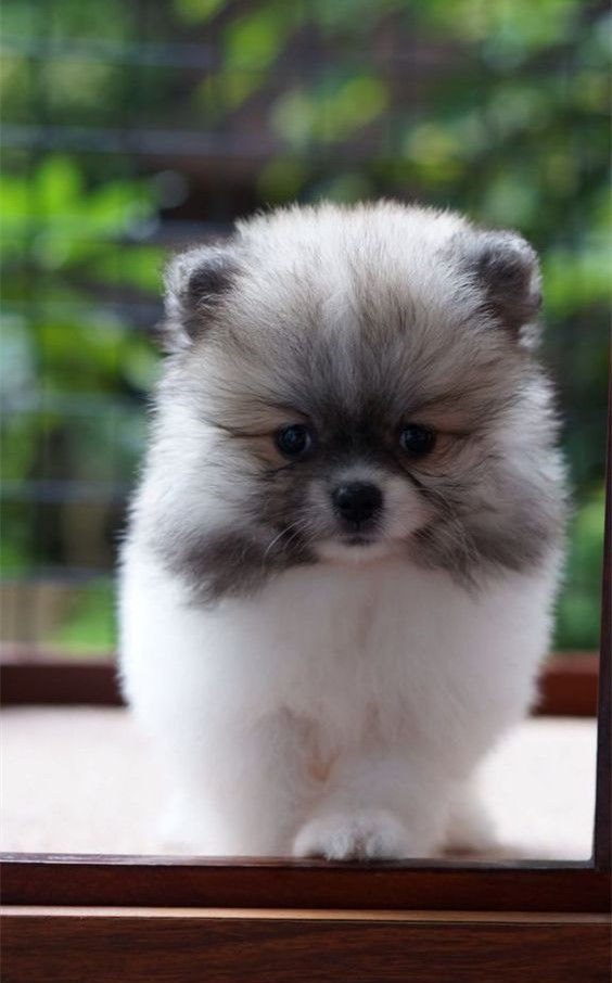 Interesting Teacup Pomsky Facts Why