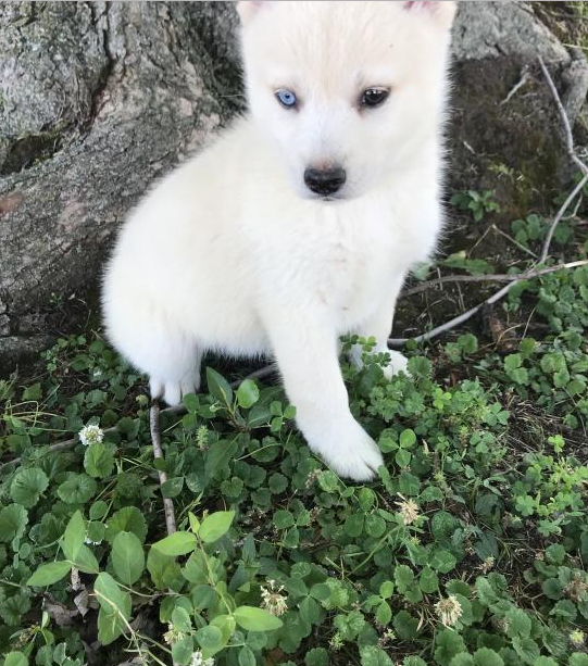 ALVIN THE POMSKY – POMSKY PUPPY FOR SALE IN KETTERING, OH