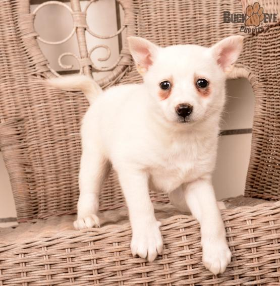 AMY! – POMSKY PUPPY FOR SALE IN MILLERSBURG, OH