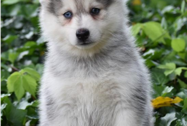 ASPEN – POMSKY PUPPY FOR SALE IN DANVILLE, OH