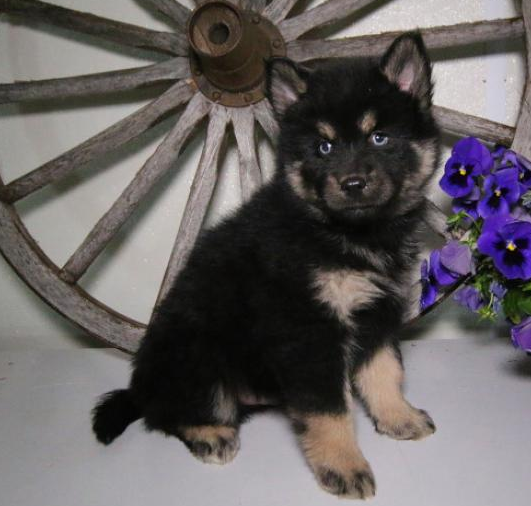 BENJI – POMSKY PUPPY FOR SALE IN SHIPSHEWANA, IN