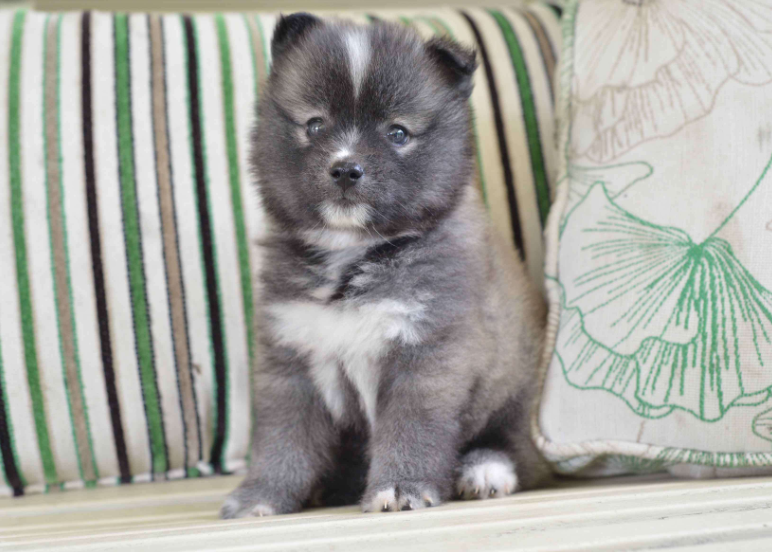 BERNIE – POMSKY PUPPY FROM Fresno, OH
