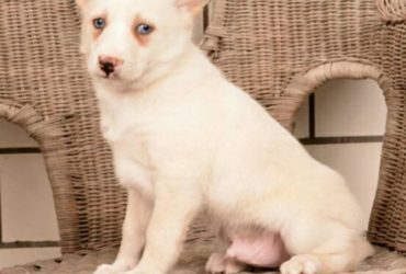 BUSTER! – POMSKY PUPPY FOR SALE IN MILLERSBURG, OH