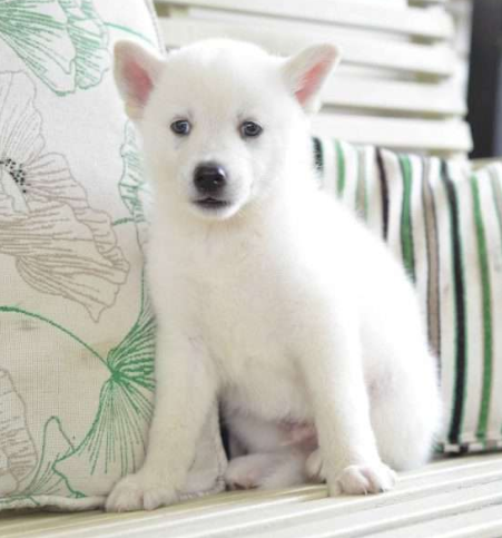 BENO – POMSKY PUPPY FROM Fresno, OH
