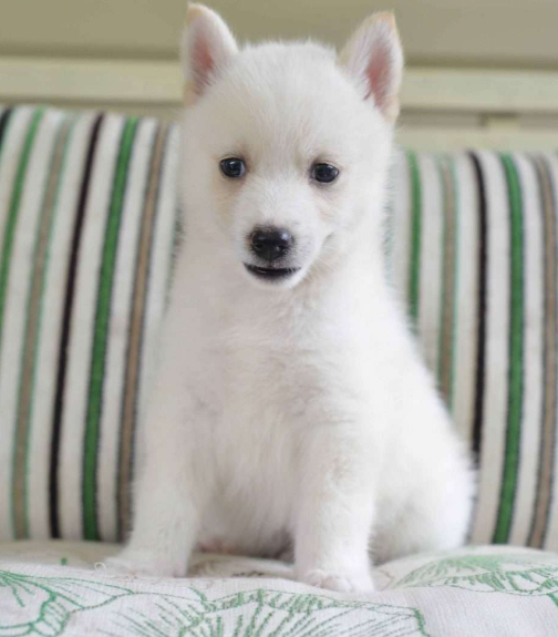 BLADE – POMSKY PUPPY FROM Fresno, OH