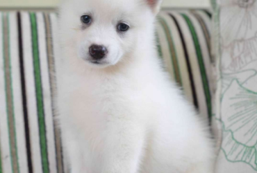 BRODY – POMSKY PUPPY FROM Fresno, OH