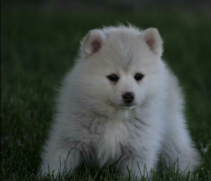 CHARLEY – POMSKY PUPPY FOR SALE IN NAPPANEE, IN