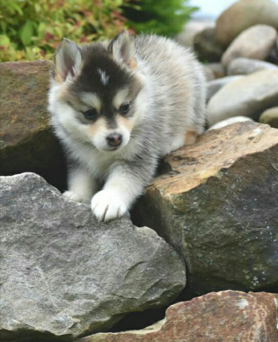 COCO – POMSKY PUPPY FOR SALE IN DANVILLE, OH 5/23/2018