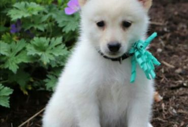 CONNOR – POMSKY PUPPY FOR SALE IN DUNDEE, OH