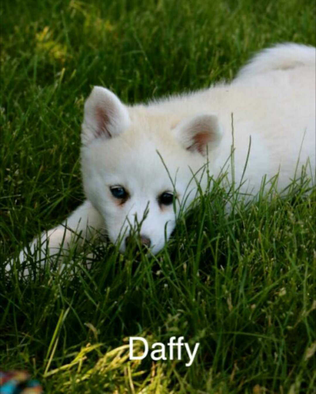 DAFFY *2 YEAR HEALTH GUARANTEE* – POMSKY PUPPY FOR SALE IN EATON, OH 5/30/2018