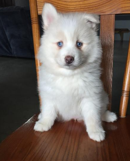 DAISY – POMSKY PUPPY FOR SALE IN SHREVE, OH