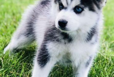 DALE – POMSKY PUPPY FROM Edwardsburg, MI