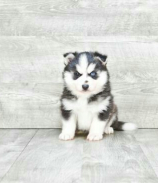 DEMI!! – POMSKY PUPPY FOR SALE IN JOHNSTOWN, OH