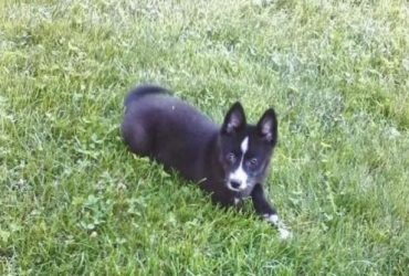 DONNIE – POMSKY PUPPY FOR SALE IN BERLIN, OH
