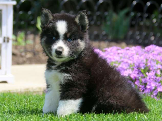 EDDIE – POMSKY PUPPY FROM New Holland, PA