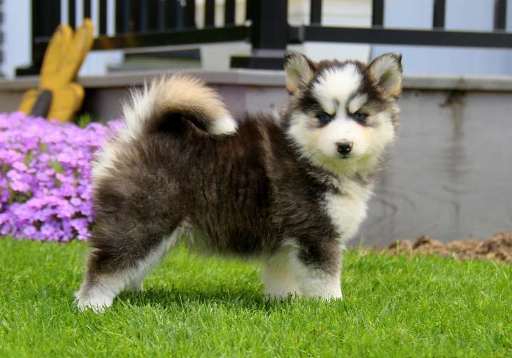 ETHAN – POMSKY PUPPY FROM New Holland, PA