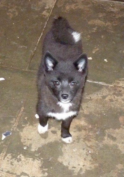 F2 Pomsky For Sale