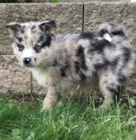 FARLEY – POMSKY PUPPY FOR SALE IN SHIPSHEWANA, IN
