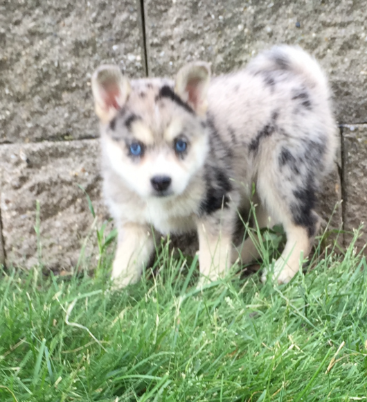 FRANKY – POMSKY PUPPY FOR SALE IN SHIPSHEWANA, IN