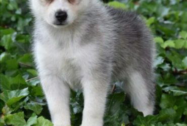 FARGO – POMSKY PUPPY FOR SALE IN DANVILLE, OH