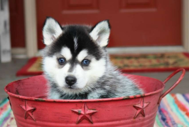 GENESIS – POMSKY PUPPY FROM Adolphus, KY