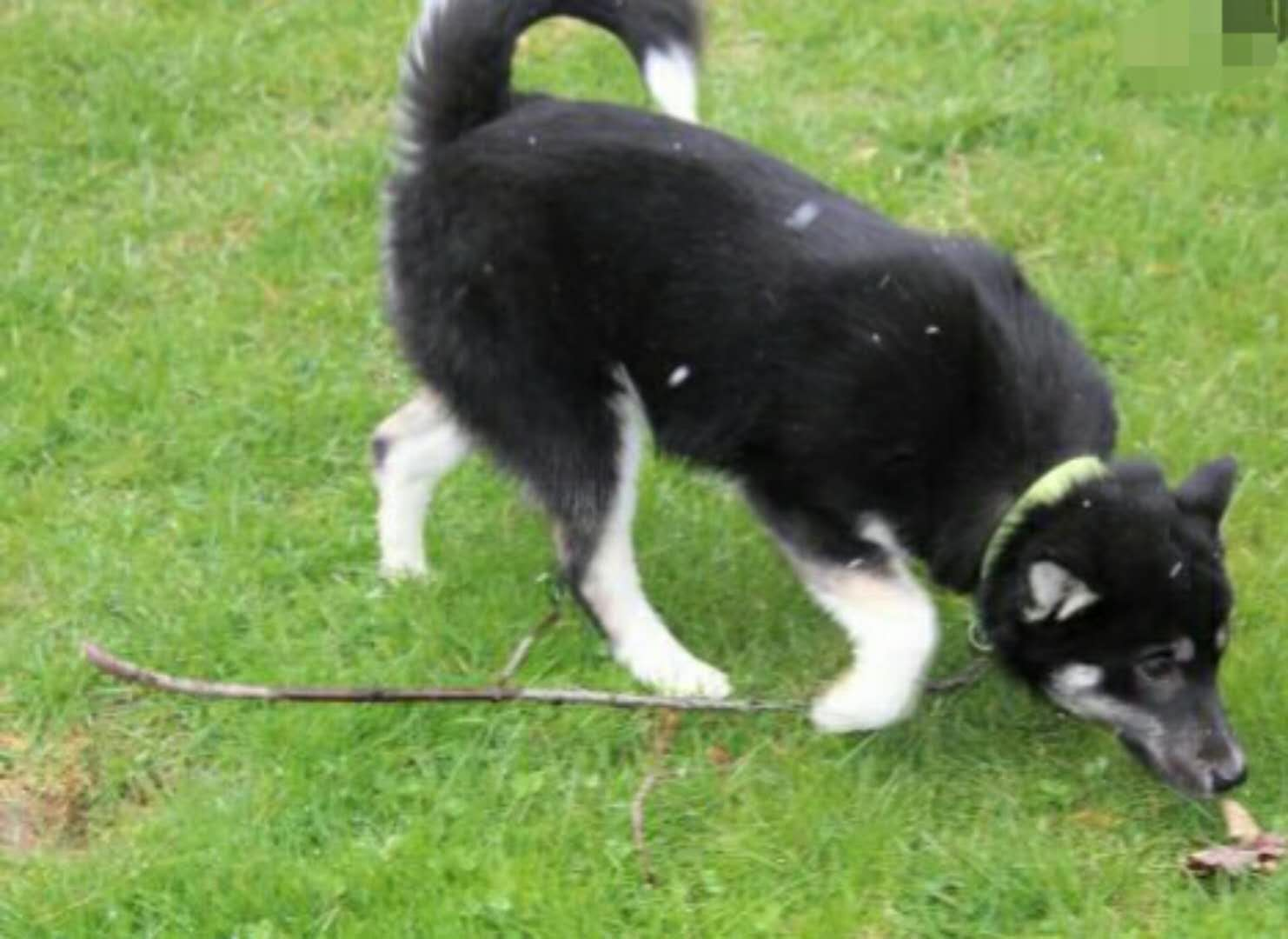 HEATHER – POMSKY PUPPY FOR SALE IN MILLERSBURG, OH