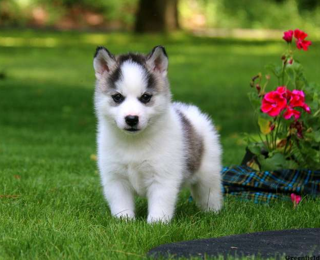 HARLEY – POMSKY PUPPY FROM Parkesburg, PA