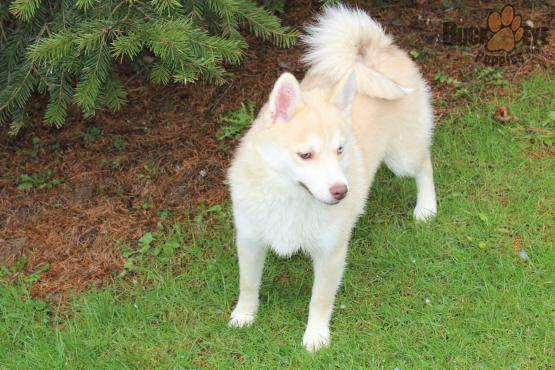 HARRY – POMSKY PUPPY FOR SALE IN MILLERSBURG, OH