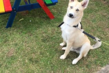 Rocco – POMSKY SALE FROM Carmarthen, Carmarthenshire