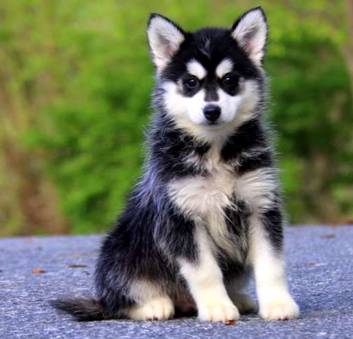 Joey – POMSKY PUPPY FROM Narvon, PA