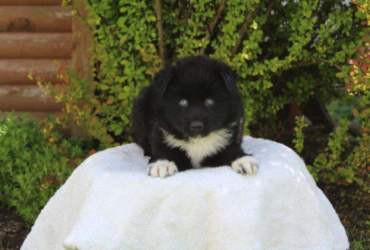 JIM – POMSKY PUPPY FROM Gap, PA