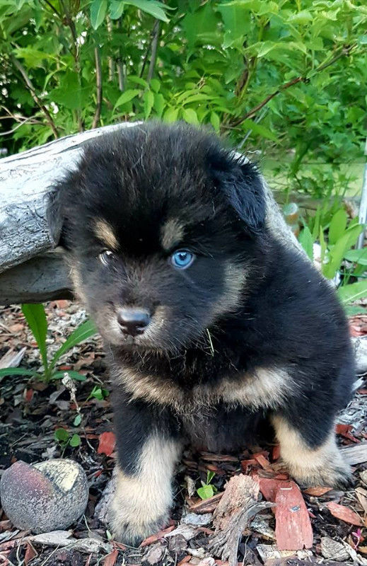Beautiful F1 pomsky males