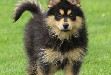 KOLA – POMSKY PUPPY FROM Gordonville, PA