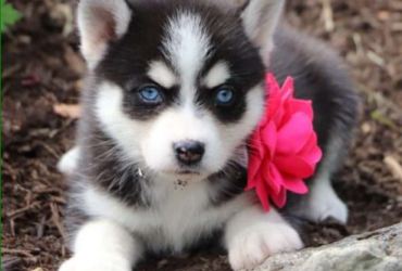 KATE – POMSKY PUPPY FROM Dundee, OH