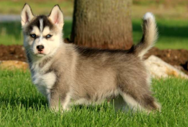 Kendall – POMSKY PUPPY FROM Kinzers, PA