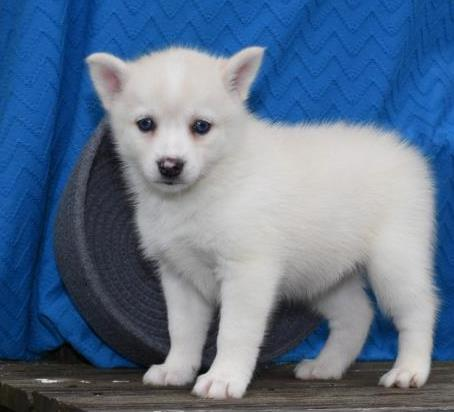 LACEY – POMSKY PUPPY FOR SALE IN MILLERSBURG, OH
