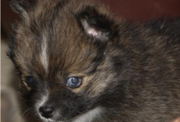 LIGHTING – POMSKY PUPPY FOR SALE IN RICHFIELD, OH