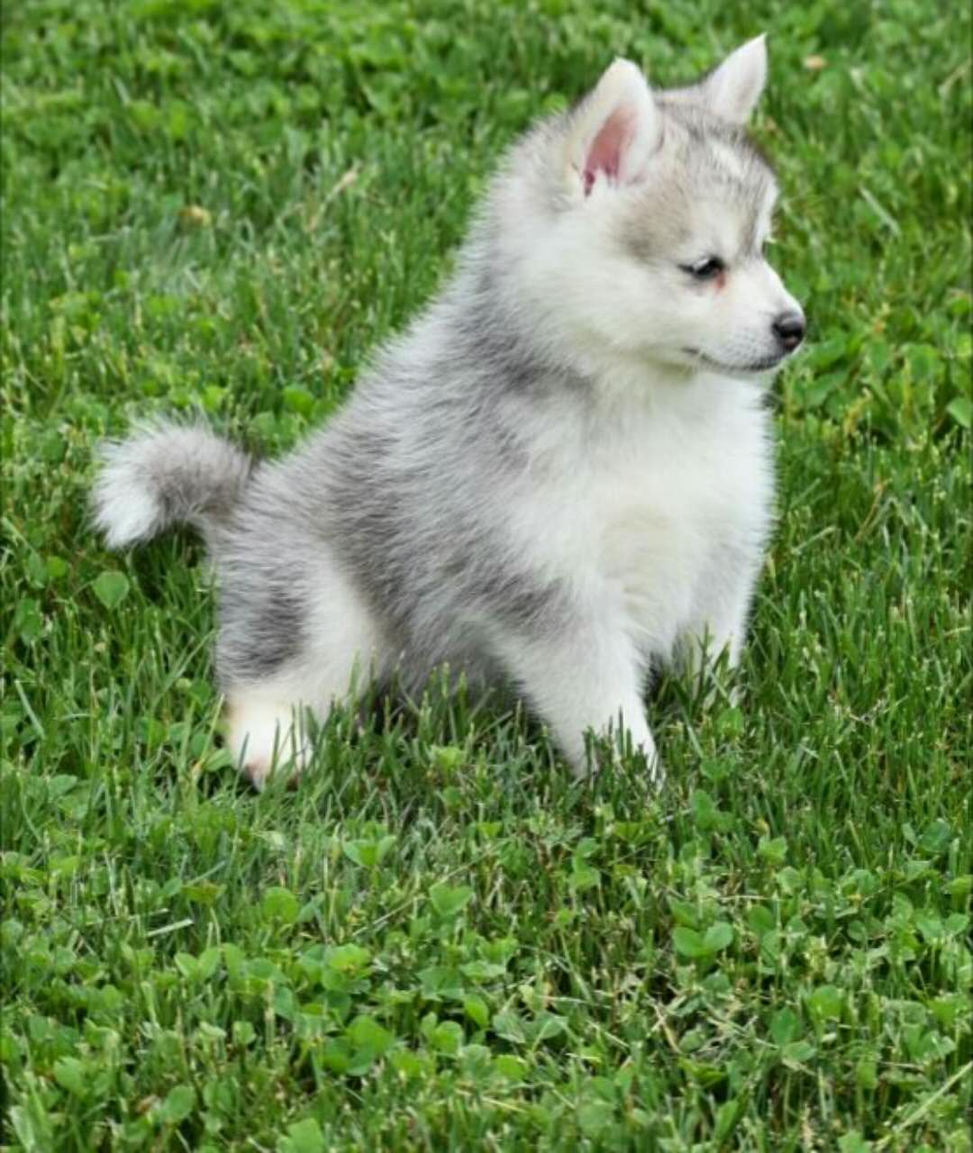LUNA – POMSKY PUPPY FOR SALE IN DANVILLE, OH