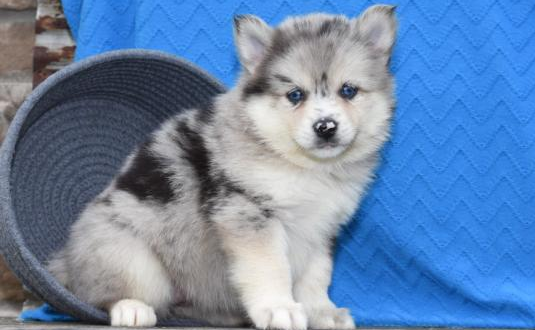 LUNA – POMSKY PUPPY FOR SALE IN MILLERSBURG, OH