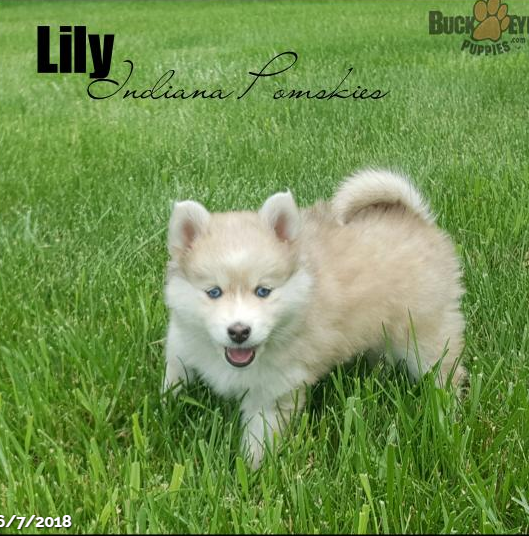 LILY – POMSKY PUPPY FOR SALE IN SOUTH BEND, IN