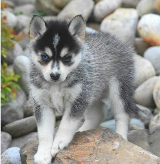 MABLE – POMSKY PUPPY FOR SALE IN DANVILLE, OH