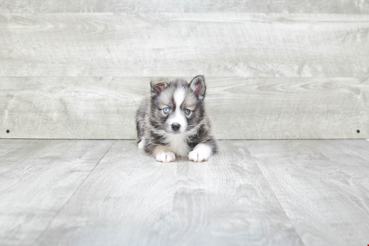 MAIZY POMSKY PUPPY (AVAILABLE 6/13/2018)