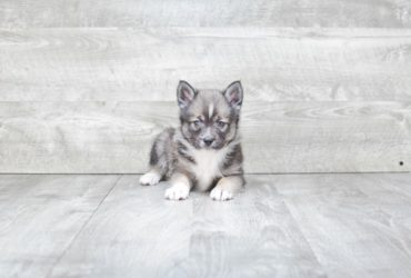 MANNY – POMSKY PUPPY (AVAILABLE 6/13/2018)